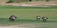 Canadian Geese playing golf